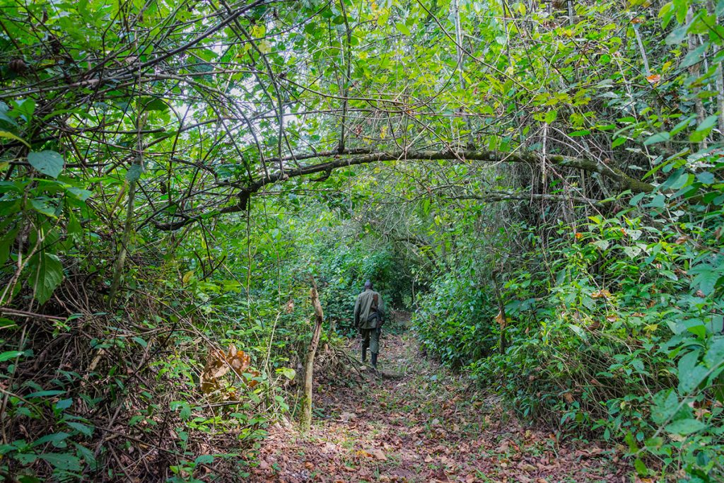 The Ranger leads the way trekking deep into the ravine to find the Kyambura Gorge isolated chimpanzee troop.
