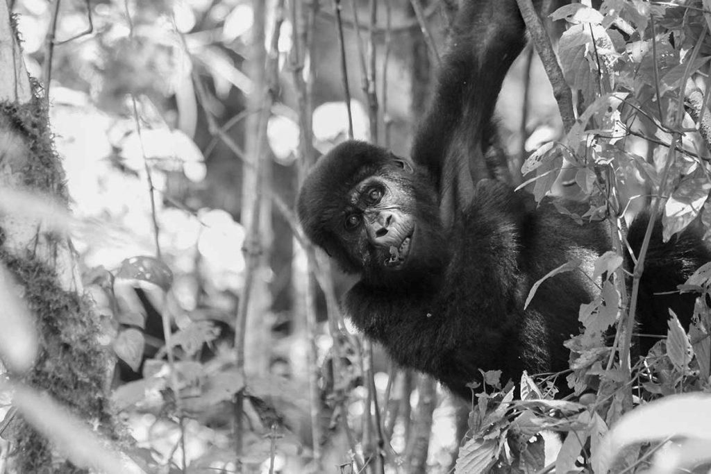 Habiyanja Gorilla Group Juvenile Swings off The Vines in Buhoma
