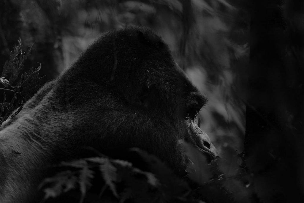 Silverback Bahati, Bushaho Gorilla Family's Dominant Leader - Nkuringo Sector for gorilla trekking in Bwindi Impenetrable. National Park