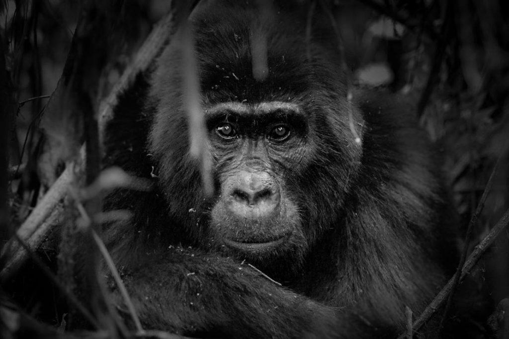 Perfect Pause From Bikingi Mother - Bikingi Gorilla Group for trekking in Rushaga Tourism Sector of Bwindi Impenetrable National Park