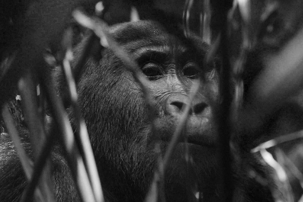 Mountain Gorilla Peeps through Shrubs in Buhoma Sector - Gorilla Trekking in Bwindi Impenetrable National Park