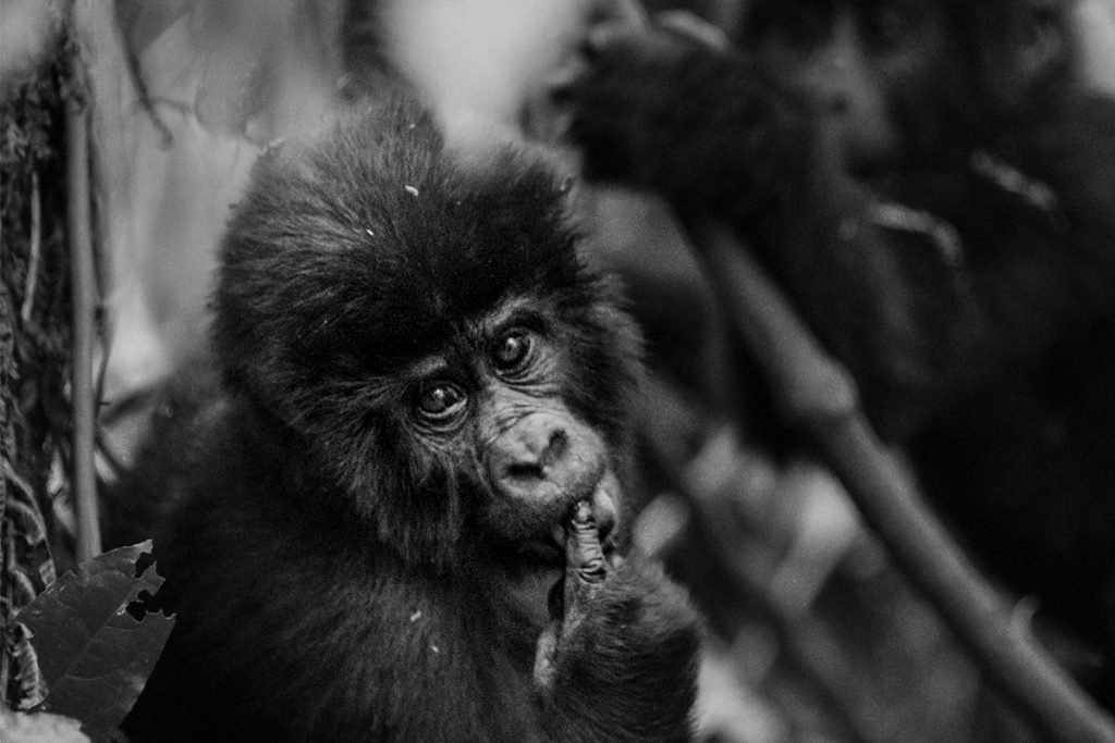 Busingye Family's Playful Juveniles found in Rushaga Sector, Bwindi Impenetrable Forest