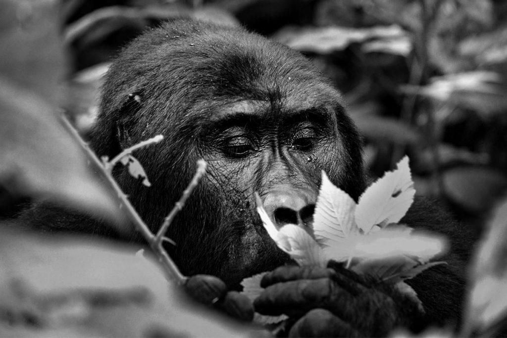 Dominant Silverback Bweza of Nshongi Gorilla Family in Rushaga sector for gorilla trekking in Uganda