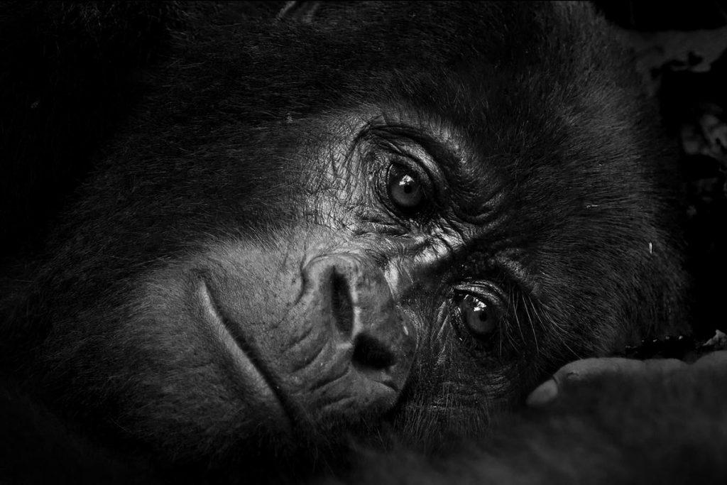Guma of Christmas Gorilla Family in Nkuringo Sector resting her head on her palms.