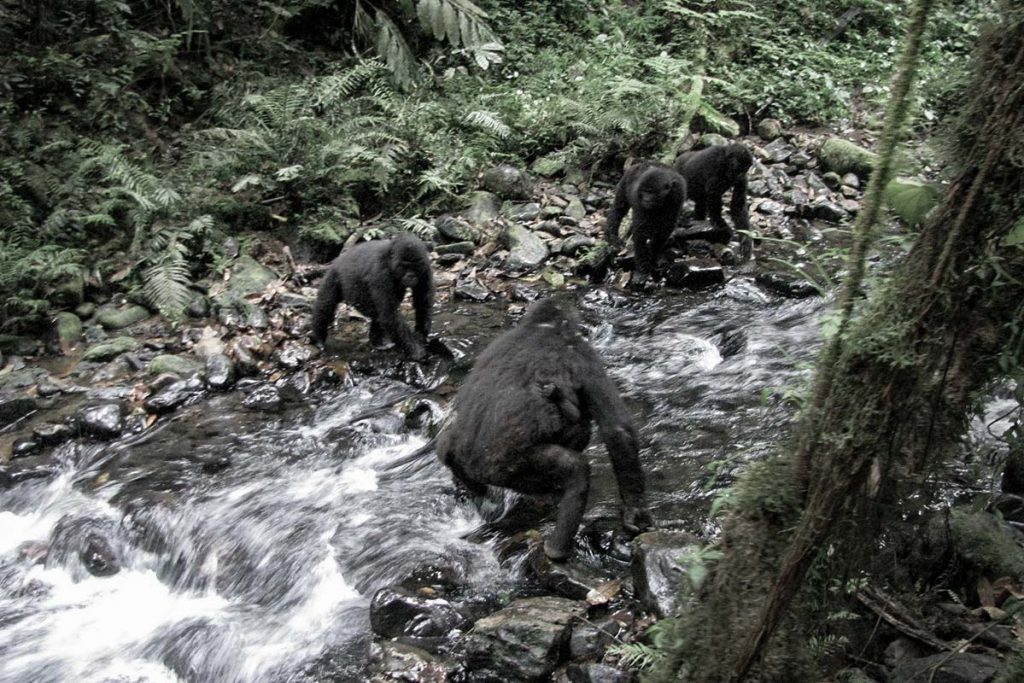 The troop crosses the stream to stay on their foraging trail led by the silverback, as we follow.