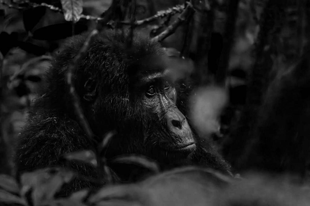 A familiar face staring through the dark jungle - Katwe Gorilla Family in Buhoma