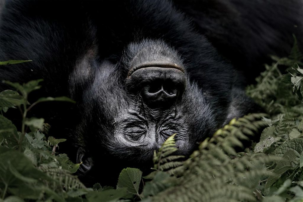 Nap time after a foraging morning across the jungle. A day with a silverback mountain gorilla in Bwindi on a Uganda gorilla habituation experience