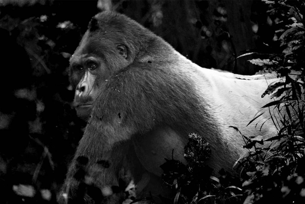 The magnificent Rafiki, killed in June 2020 by illegal hunters. Nkuringo Sector: The Gorilla Town in The South of Bwindi Impenetrable National Park