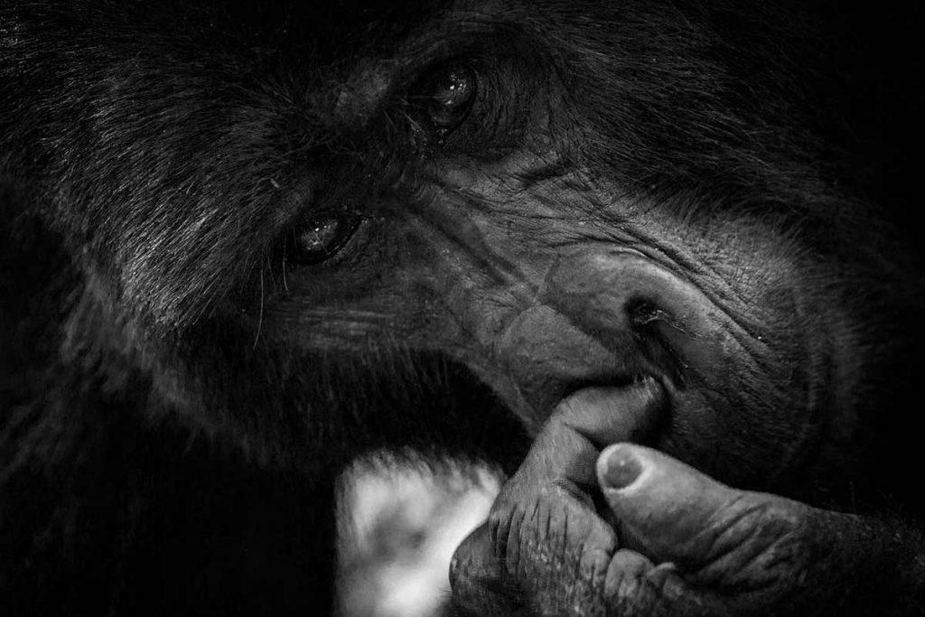 Rushegura Silverback Picking his Nose.  Buhoma sector gorilla groups