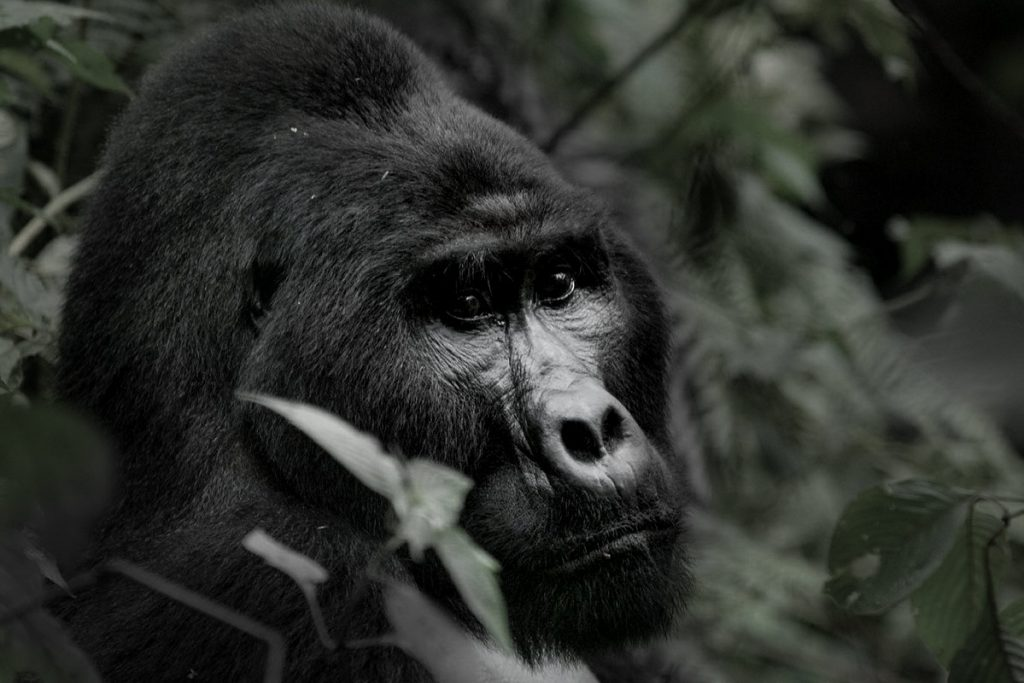 How to spend more hours with the gorillas in Uganda