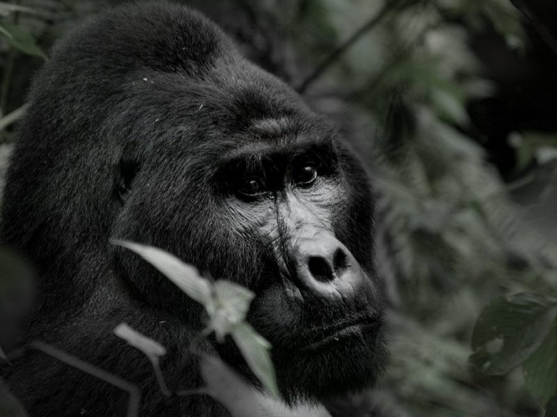What it's like spending a day with a dominant male silverback mountain gorilla and his family in the montane jungles of Uganda's Bwindi Impenetrable National Park on a Gorilla Habituation Experience.
