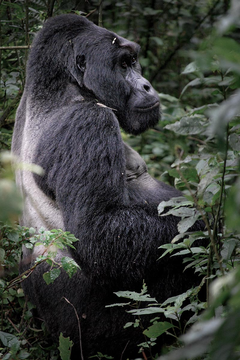 The enormous and fearsome patriarchal silverback sitting in his domain with a watchful eye over his family.