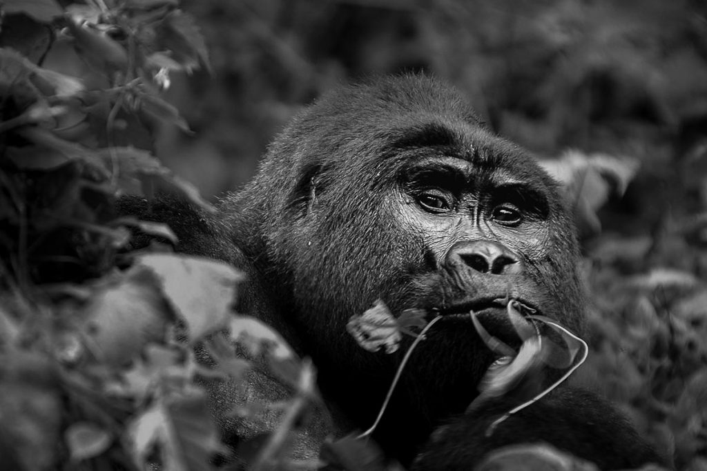 Nonchalant Tinfayo, Mishaya Gorilla Family's Dominant Leader at Rushaga Sector for gorilla trekking in Bwindi Impenetrable National Park